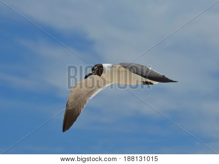 Beautiful cloudy blue skies with flying gull.