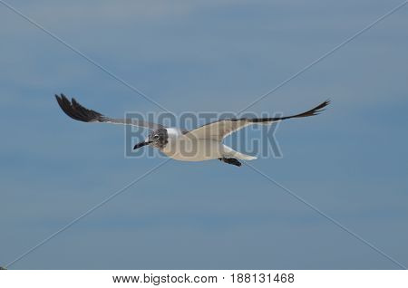 Laughing gull flying with wings in the skies.