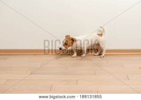 Cute Jack Russell Terrier puppy playing at home on a wooden floor