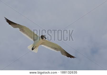 Laughing gull flying through the sky with his wings spread.