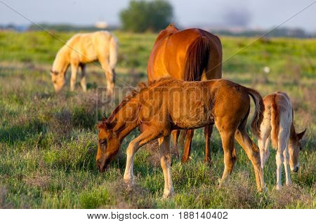 Horses are walking in the pasture at sunset .