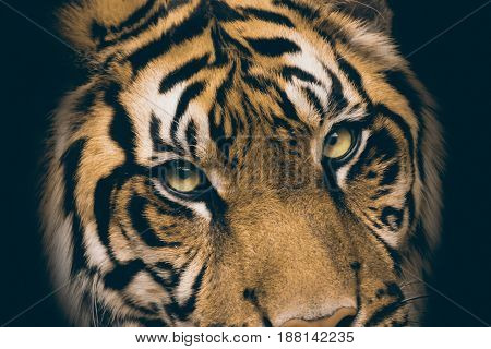 Face tiger as wallpaper with green eyes. Species animal from list IUCN.Tiger lie in wait. Feline predator before atack. Sweet wild cat.