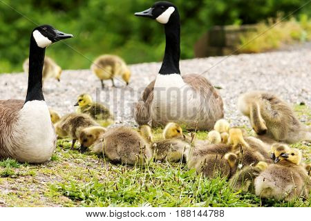 A family of Canadia geese look over their goslings as they rest on top of each other