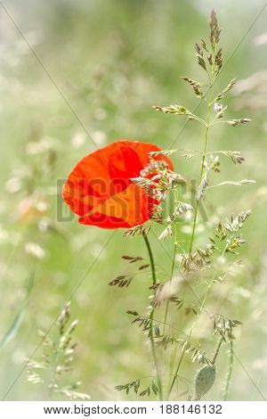 Wildflower red poppy on a green grass background