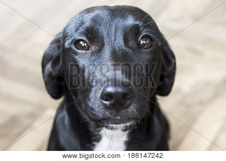 A black medium-sized dog in an apartment