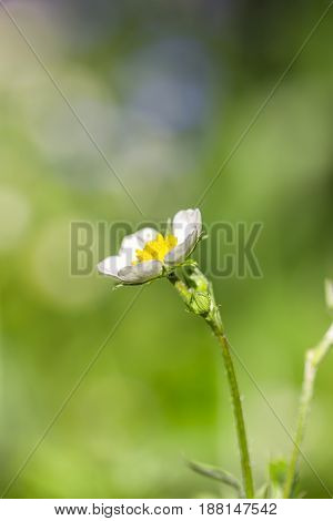 White flower strawberry on a green natural background