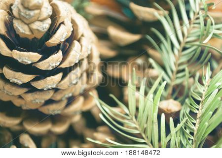 Pine cone and coniferous branches blurry background.