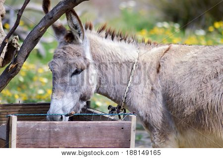 Gray donkey in its manger in a prairie on the island of Crete