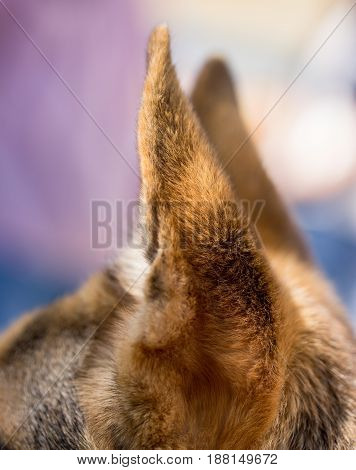 Standing dog ears in open air. macro
