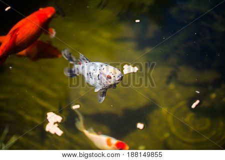 shubunkin in the pond with goldfishes, fresh water,