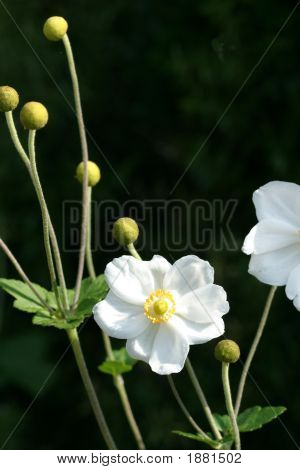 Wildflower in bloom with white petals and a yellow centre poster