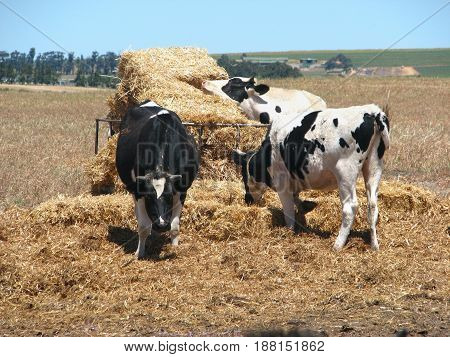 FROM CAPE TOWN, SOUTH AFRICA, OXEN GRAZING HAY