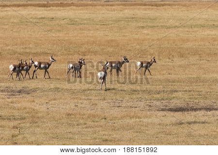a herd of pronghorn antelope in the fall rut