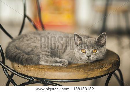 Cute Kitten Russian Blue breed sleeping on a wooden chair in a cafe beautiful gray cat