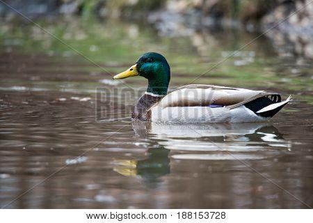 Wild Male Duck (Mallard) swimming in water
