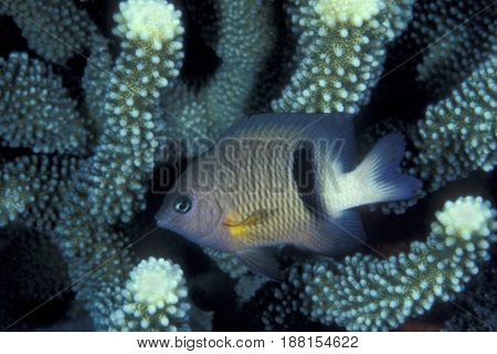 A Dick's Damselfish, (Plectroglyphidodon dickii) on a coral reef at the Kwajalein Atoll in the Pacific