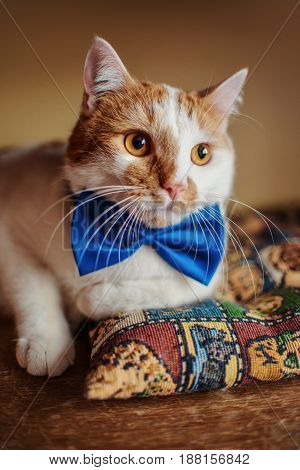 Beautiful Red Cat With Bow Tie. Pretty Beauty Portrait. Lying On Sofa