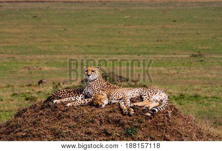 Two cheetahs is watching the savanna. Hills of Serengeti, Africa