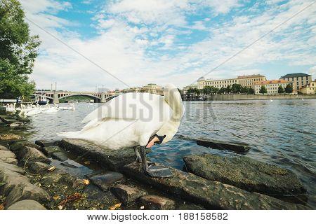 One White Swan On Riverside Of Vltava.