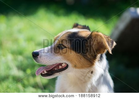 portrait of happy outbred dog on a street at sunny summer day. outdoor shot with grass on background. side view