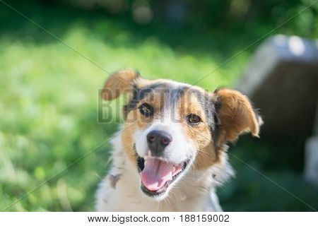 portrait of happy outbred dog on a street at sunny summer day. outdoor shot with grass on background. front view