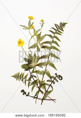 Dried Buttercup, Ranunculus Flowers And Fern Leaves