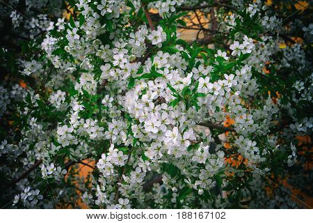 Blooming tree brunch with white flowers on bokeh green background