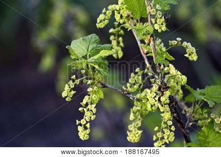 Branch of currants in early spring closeup. On the branches of many small green flowers.Flowering currant.