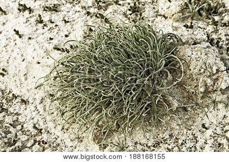 Green moss on white salty mud background