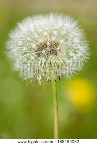Single Dandelion Blowball Macro Close-up