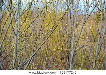 Tree branches with young shoots of leaves. Spring flowering of nature. Green buds swell. Background Wake forest.