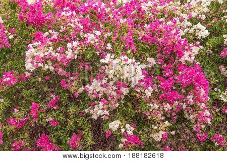 White and pink bougainvillea flowers in De Rust a village in the Western Cape Province of South Africa