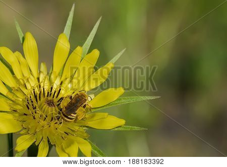 bee collects the pollen on a beautiful yellow flower