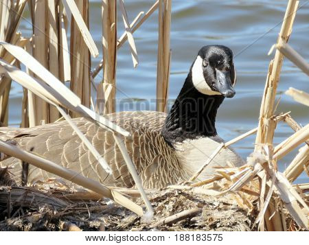 Canadian goose sitting on eggs in nest on the bank of Oakbank Pond in Thornhill Canada April 17 2017