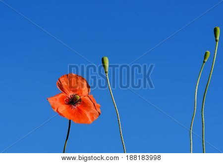 Red field poppies grow in the green grass, summer morning