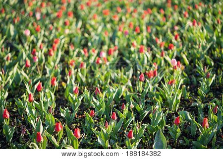 Tulips in the park. summer in Russian. Moscow.
