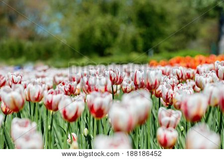 Red and white tulips depicting the national flag of Canada specially created to celebrate the 150th anniversary of the confederation of Canada. This variety is called Canada 150.