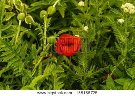 Red Poppy in New York City Garden