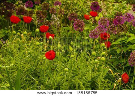 New York Botanical Garden, Red Poppy, Bronx