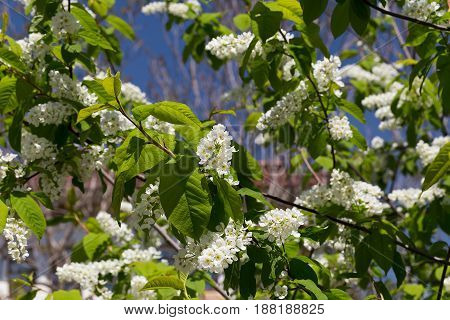 Branches of a white blossoming cherry on a blurred green background