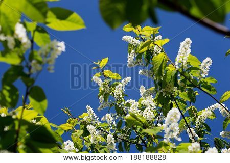 A branch of a white blossoming cherry against a blue sky