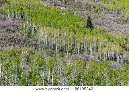 Landscape with forestry on a mountain slope. Aspen is the species of the trees with slim white trunks.