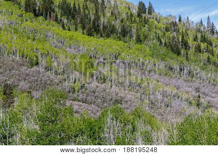 Landscape with forestry on a mountain slope. Aspen is the species of the trees with bright green leaves.