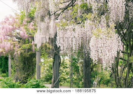 White and pink wisteria growing on a pergola.