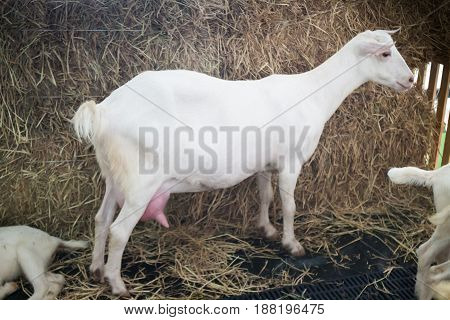 White Milk Goat Show In Farm Festival stock photo