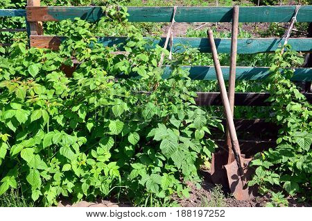 An Old Rusty Shovel Near The Raspberry Bushes, Which Grow Next To The Wooden Fence Of The Village Ga