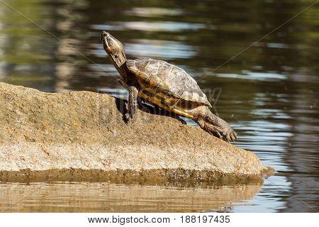 Red Eared Slider Or Terrapin - Trachemys Scripta Elegans Semiaquatic Turtle