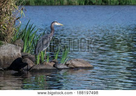 Great Blue Heron Fishing In The Low Lake Waters.