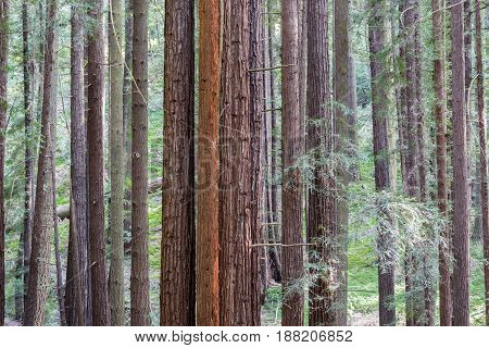Redwood Grove. Henry Cowell Redwoods State Park, Santa Cruz County, California, USA.
