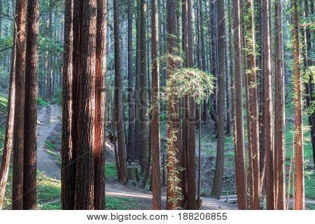 Sunset Lights on Redwood Trees. Henry Cowell Redwoods State Park, Santa Cruz County, California, USA.